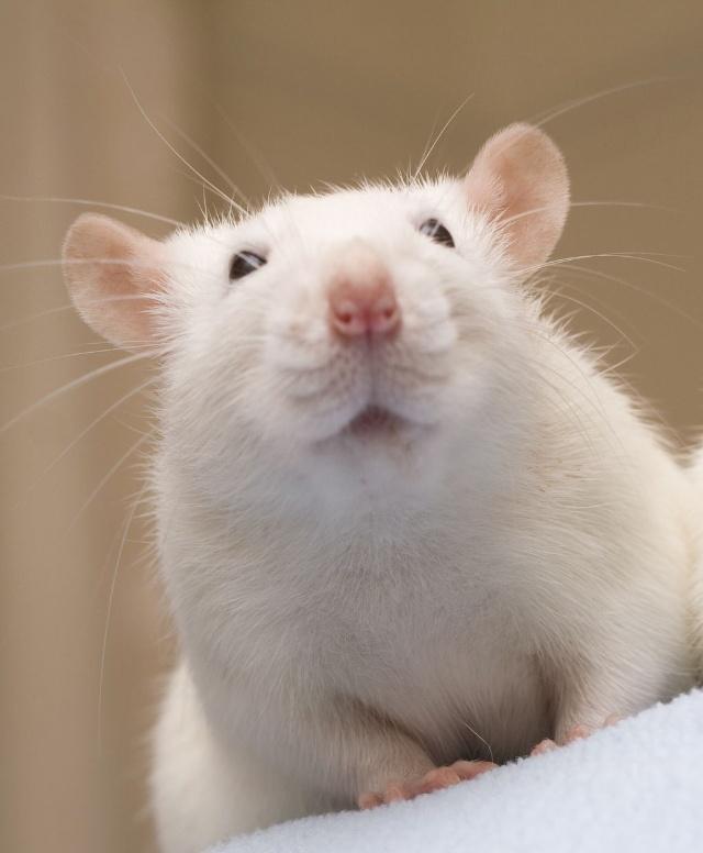 硕鼠是什么动物