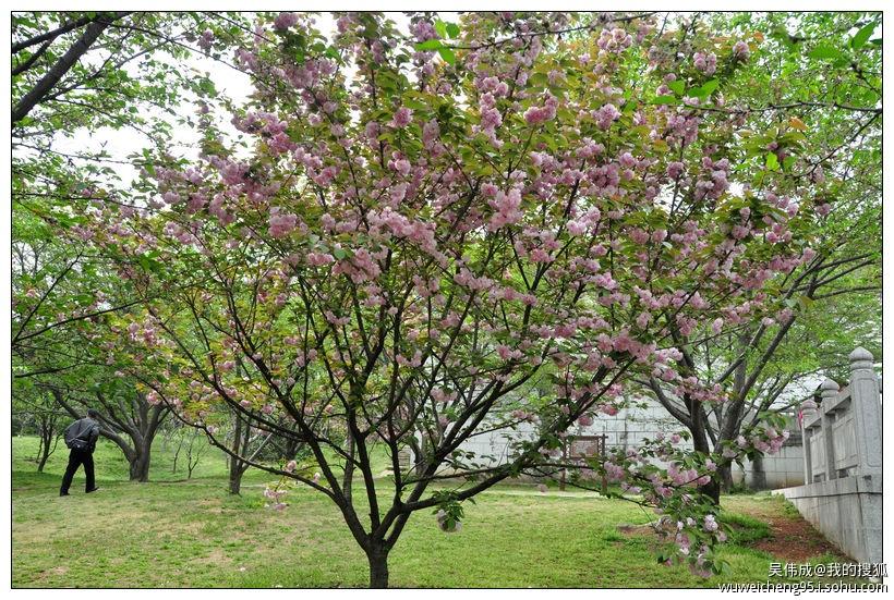 满树长满了嫩绿的树叶;而左边的晚樱却已经