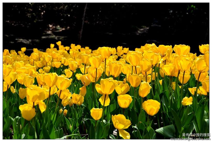 春天里,我走进虎丘之赏花郁金香