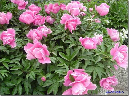可爱的一朵玫瑰花简谱词
