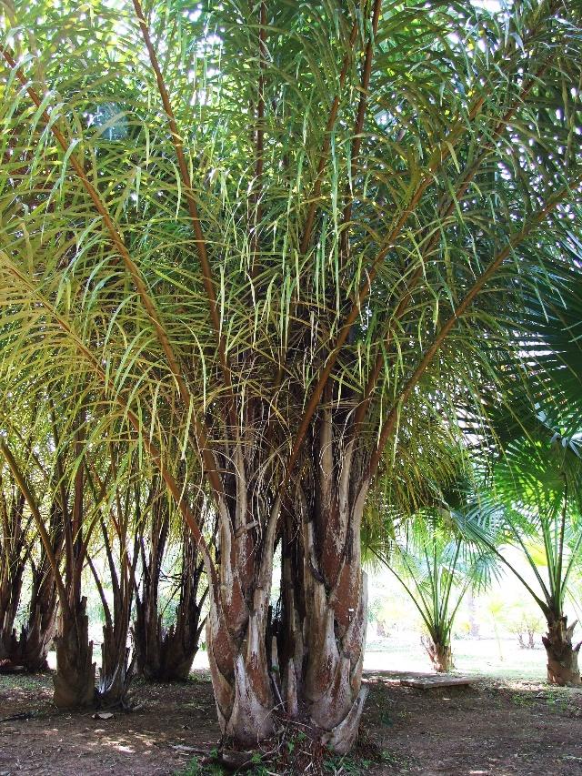 二十九棵棕榈树_棕榈树手绘_棕榈树简笔画_二十九 ...