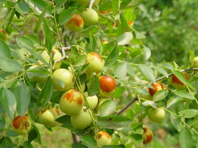 秋天有什么水果成熟了 秋天成熟的水果有哪些 秋天有什么水果图片