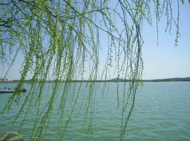 壁纸 垂柳 风景 柳树 摄影 树 桌面 640_478