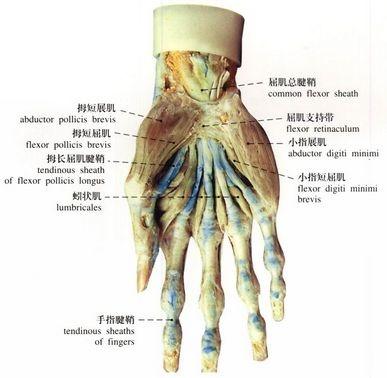 拇短伸肌腱,(腕关节的拇指一侧)由于解剖部位特殊,这里是腱鞘炎