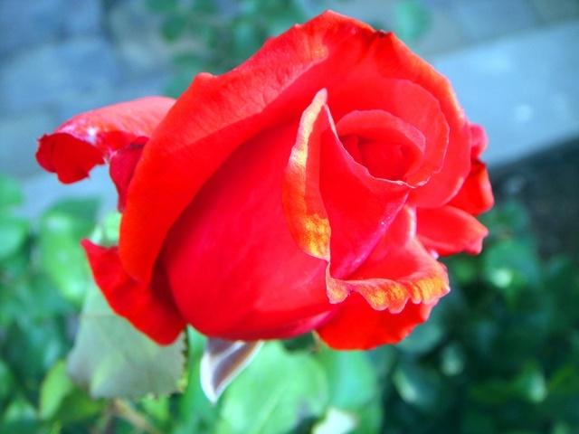 """""""""""半开的最好看,哎,孟哥,那红色喇叭花叫啥来着?"""