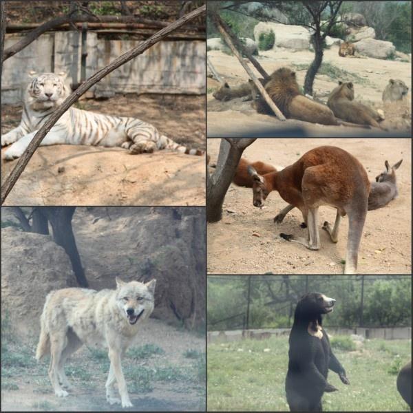 八达岭野生动物世界与马来熊面对面